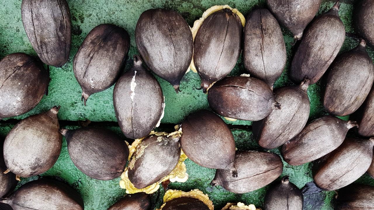 Indústria se une a quebradeiras de coco pela competitividade do babaçu