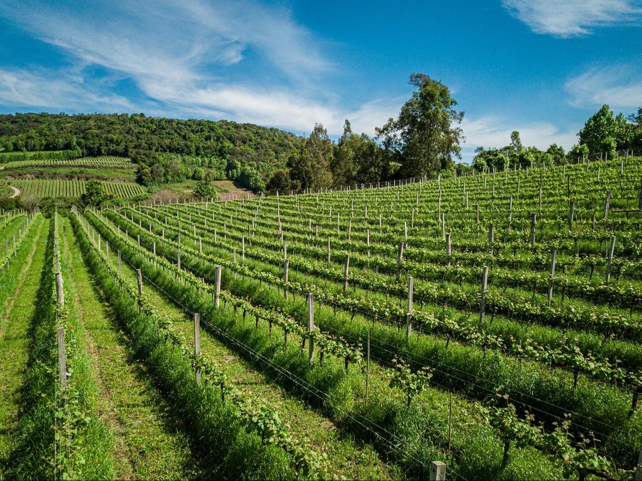 Vale dos Vinhedos (RS) foi a primeira IG para um vinho brasileiro, abrindo caminho para tornar o Rio Grande do Sul a referência em vinho de origem no país