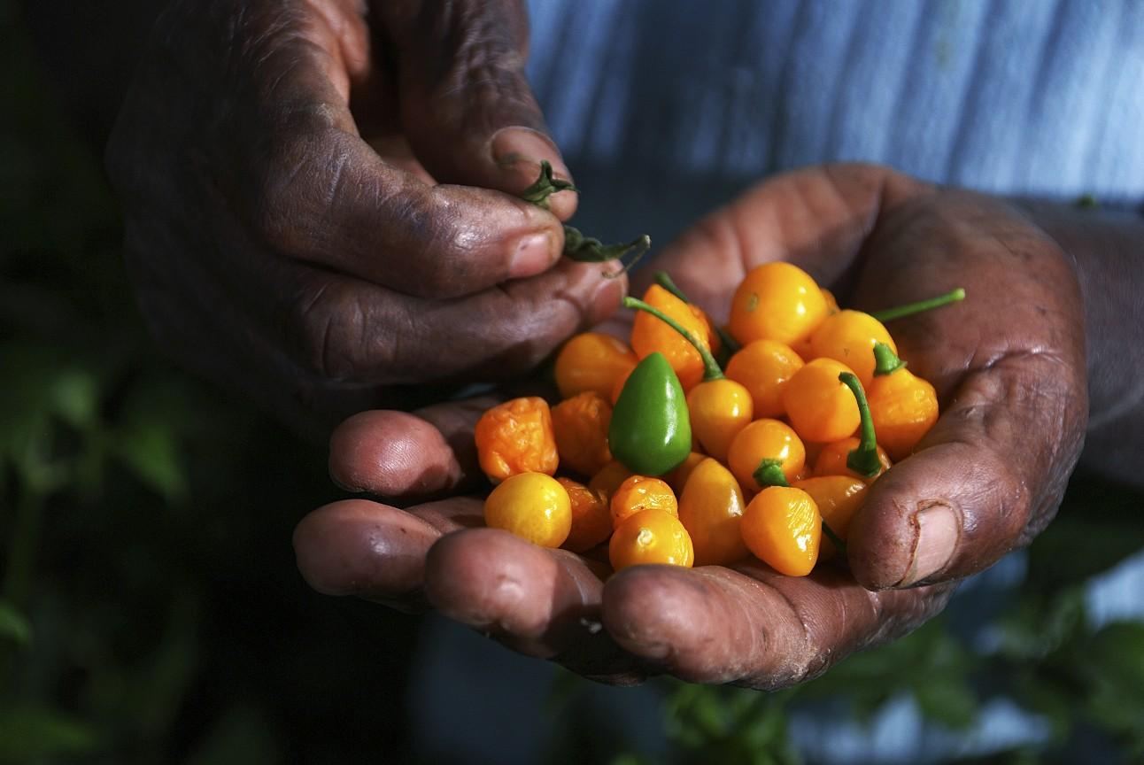 Foto mostra detalhe da mão de um homem quilombola carregada de pimentas amarelas